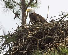 Nesting time! (AllHarts) Tags: ngc baldeagle lbl flickerites kentuckydam naturescarousel gilbertsvilleky