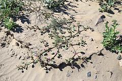 Desert Sand Verbena, Death Valley, January 2016 (Bob Palin) Tags: california 15fav usa southwest flower 510fav nationalpark desert outdoor deathvalley club100 100vistas instantfave canonef24105mmf4lisusm flowerpicturesnolimits orig:file=2016012804869