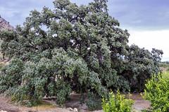 Encina (Juan Pedro Gmez-51) Tags: espaa tree landscape spain quercus symbol paisaje rbol fields metaphor campos conceptualismo metfora holmoak encina smbolo conceptualism coscoja carrasca rurallandscape ruralscape
