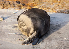 Elephant Seal at Ano Nuevo State Park-7999 ( / Jiayin Ma) Tags: california park elephant beach water 1 sand state wave route seal ao ano nuevo seaocean