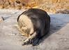 Elephant Seal at Año Nuevo State Park-7999 (马嘉因 / Jiayin Ma) Tags: california park elephant beach water 1 sand state wave route seal año ano nuevo seaocean