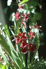DSC_6860 (marinabaliakina) Tags: flowers orchid