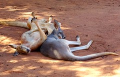 Kangaroos (Clare-White) Tags: 2 animals sand australia sleepy queensland kangaroos
