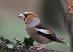 28 01 2016 (cathyk31) Tags: bird oiseau hawfinch grosbeccassenoyaux coccothraustescoccothraustes fringillids passriformes