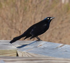 Common Grackle (tapaculo99) Tags: birds alabama aves grackle commongrackle quiscalusquiscula blackbird dauphinisland icterid