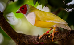 Gouldian Finch (lh24smile) Tags: world butterfly finch gouldian