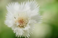 ストケシア/Stokesia laevis (nobuflickr) Tags: flower nature japan kyoto stokesaster stokesialaevis thekyotobotanicalgarden ストケシア ルリギク キク科ルリギク属 tkp2 20160216dsc01534