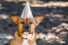 6/52: Sophie's 4th Birthday (JackieN88) Tags: birthday portrait dog pet pets brown animal mammal mutt mix outdoor canine mixedbreed birthdayhat birthdaydog project52