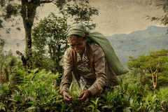 The tea maker (Saint-Exupery) Tags: leica portrait tea retrato plantation srilanka te plantacion