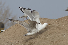 Caspian gull / Larus cachinnans / Pontische meeuw ad (Herman Bouman) Tags: caspiangull laruscachinnans pontischemeeuw
