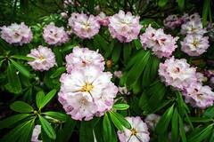 spring?? (NikB.) Tags: flowers vancouver spring flora bc blossom columbia british stanleypark alive springtime inbloom