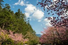 20160306-DSC_5986 (Kay's...) Tags: cherryblossom sakura   wuling wulingfarm
