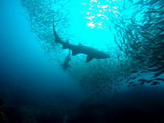 Shark Gully (rypanda9) Tags: fish scuba diving sharks southwestrocks greynurseshark fishrock