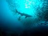 Shark Gully (rypanda9) Tags: fish scuba diving sharks southwestrocks greynurseshark fishrock