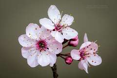 Plum blossom (PIERRE LECLERC PHOTO) Tags: canada vancouver spring britishcolumbia plum plumblossom plumtrees explorebc pierreleclercphotography