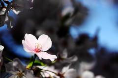Cherry Blossom (Benny2006) Tags: pink light white flower spring cherrytree