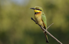_2984 Little Bee-Eater (Dave @ Catchlight Images) Tags: africa bird nature canon little wildlife tropical gambia beeeater canon7d