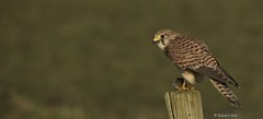 Kestrel/Torenvalk (Jambo53 ()) Tags: holland bird nature netherlands rodent rat wildlife kestrel birdofprey torenvalk knaagdier roofvogel robertkok jambo53 groenejonker