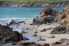 Elephant Seal Beach 2 (SamLleva) Tags: california beach mammal coast sand pacific highway1 seal hearstcastle pup cambria elephantseal molting