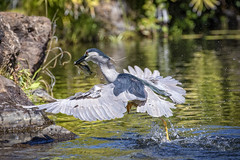 Lunch to go! (Peter Stahl Photography) Tags: heron hawaii fishing maui blackcrownednightheron nightheron