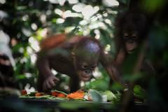 Look at all this food! (leewoods106) Tags: green beautiful animal monkey asia southeastasia malaysia borneo orangutan ape sabah shangrilarasaria