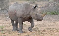 Black Rhino. (Bob Eade) Tags: southafrica blackrhino krugerpark