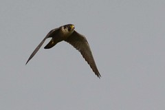 HNS_0932 Slechtvalk : Faucon pelerin : Falco peregrinus : Wanderfalke : Peregrine Falcon
