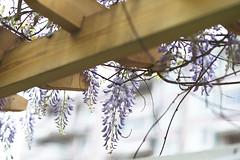Wisteria in my home (Alfred Life) Tags: leica flower f14 m  summilux wisteria m9 75mm    leicam9 m7514 m9p m75mmf14 leicam9p