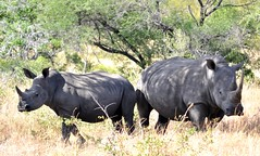 Last Horns (DJ Cockburn) Tags: southafrica savannah horn rhinoceros blackrhino kruger sanparks southafricannationalparks dicerosbocornis