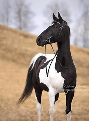 Bojek 1 (Hestefotograf.com) Tags: show friends summer horse white black girl norway bareback caballo cheval jump mare dress lets hannah go run riding pony barefoot welsh arabian elegant cob bestfriend rider cavallo equestrian canter equine pinto equus equipage skien