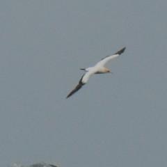 Morus serrator (Diana Padrn) Tags: sea bird australia victoria australasian gannet morus serrator