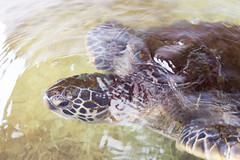 (GenJapan1986) Tags: travel animal japan island tokyo  seaturtle   2016      ogasawaraislands   nikond610