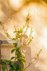 Verde (ianesellicaterina) Tags: ombra sole ramo pianta crescente rampicante