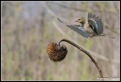 Arrivoooooooooooo (torben84) Tags: nature fauna fly nikon natura volo tamron avifauna parus maior decollo tamronlens cinciallegra fringuello atterraggio landig fringuelli 150600 d7200
