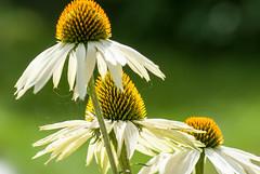 Rudbeckia (agnetaberlin) Tags: flowers flower sweden sony blomma sverige rudbeckia blommor sommar