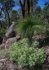 Grevillea bipinnatifida ssp bipinnatifida and Xanthorrhoea preissii, John Forrest National Park, near Perth, WA, 05/04/16 (Russell Cumming) Tags: plant perth westernaustralia grevillea johnforrestnationalpark proteaceae xanthorrhoea xanthorrhoeaceae xanthorrhoeapreissii grevilleabipinnatifida grevilleabipinnatifidabipinnatifida