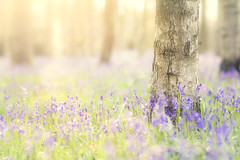 Spring Bluebells I (Vemsteroo) Tags: uk flowers trees sunset wild england nature beautiful bluebells forest canon woodland evening spring woods flora soft 85mm bark ethereal 5d dreamy colourful 12 warwick bluebell warwickshire mkiii forna wottonwawen