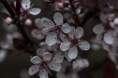Prunus Cistena - April 2016 (GOR44Photographic@Gmail.com) Tags: pink trees flower macro canon petals blossom 100mmf28 canon100mm prunuscistena 60d gor44