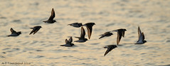 Ringed Plover - Charadrius hiaticula (Andy Pandy Pooh) Tags: christchurch bird flying flock flight hengistbury mudeford ringedplover hengistburyhead charadriushiaticula mudefordspit mudefordsandspit