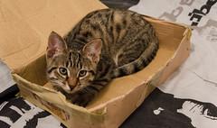 DSC_0010-1-3 (chat_44) Tags: cat chat animaux yoshi chaton flin miaou tigr rwing