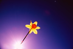 Spring Beauty (NEW! Pink Sherbet) Tags: blue sun flower color love beauty yellow catchycolors spring bright vibrant daffodil april pinksherbet