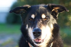 16_IMG_2687 (dingsdale) Tags: dog scylla