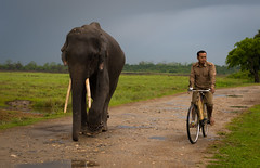 early morning stroll (linda.butty) Tags: india elephant kaziranga