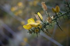 150316 033 (Jusotil_1943) Tags: flores desenfoque silvestres selectivo 150316