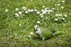 Cotorra Argentina en el Parque de Pedralbes. (Wohen) Tags: barcelona parque argentina animal pjaro cotorra pedralbes