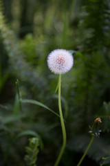 Make a wish (Danielle_M_Bedics) Tags: plant green nature dandelion seeds wishes