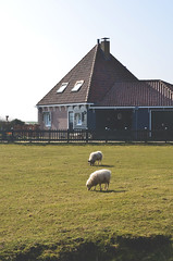 (cdundes) Tags: holland netherlands field grass animal animals digital photoshop island nikon europe sheep paysbas marken edit d7000 nikond7000