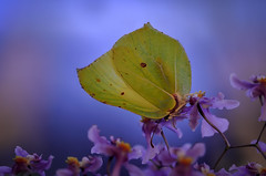 Have a nice dream! (epioxi) Tags: butterfly goldenhour brimstone schmetterling blauestunde zitronenfalter brimstonebutterfly gonepteryxrhamni tagfalter epioxi