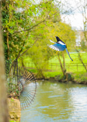 flying beauty (dtapkir) Tags: uk flowers trees england sky lake green bird water colors sunshine contrast fly nikon wing oxford d750 serene tamron 2470