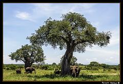 Tarangire 2016 08 (Havaux Photo) Tags: elephant robert rio river tanzania photo lion ostrich leon zebra antelope avestruz giraffe gazelle elefant antilope tarangire elefante riu gacela cebra estru jirafa lleo tarangirenationalpark antilop gasela havaux